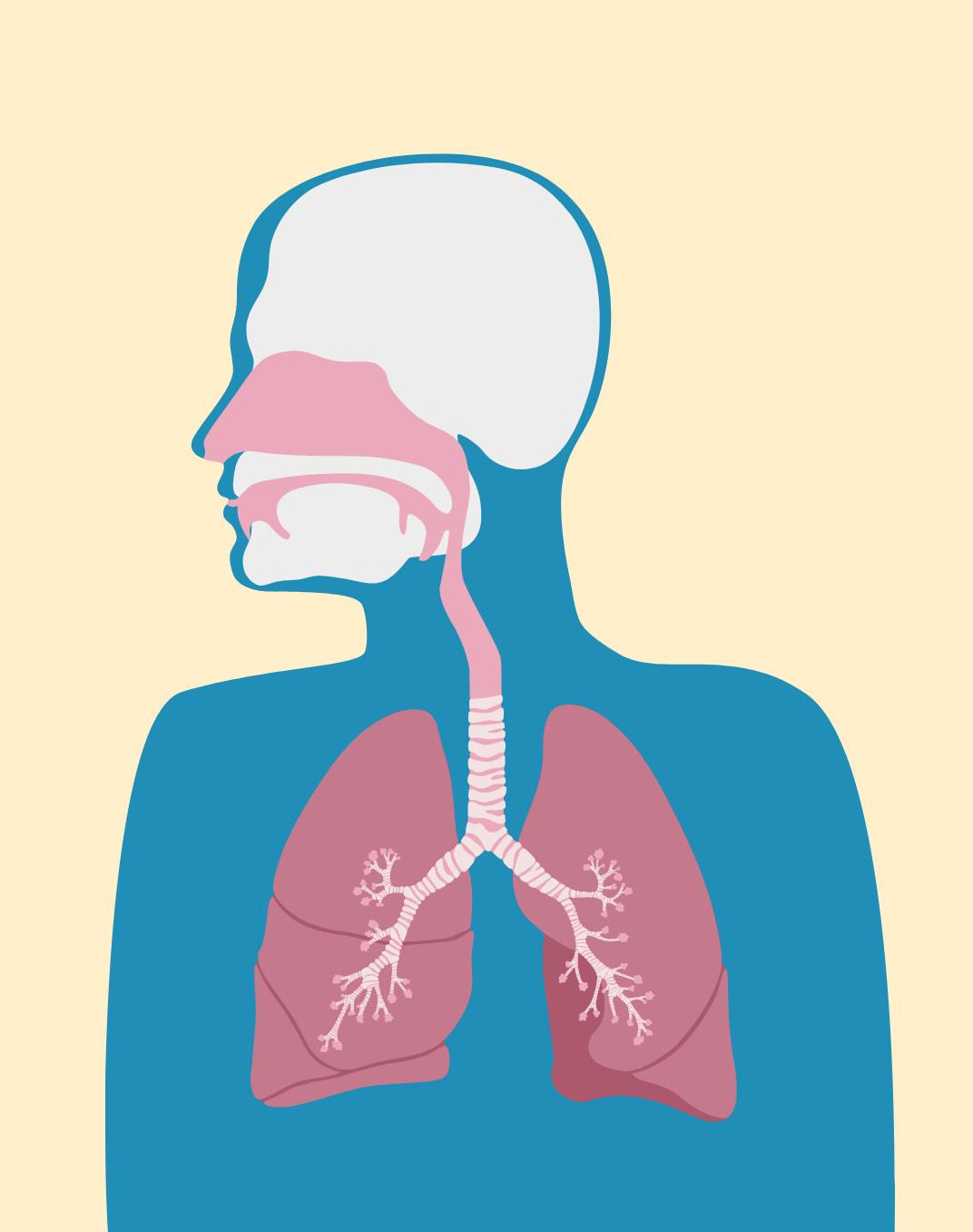 Illustration der Atemwege für den Brand Refresh Flavamed von der Healthcare Werbeagentur mcs